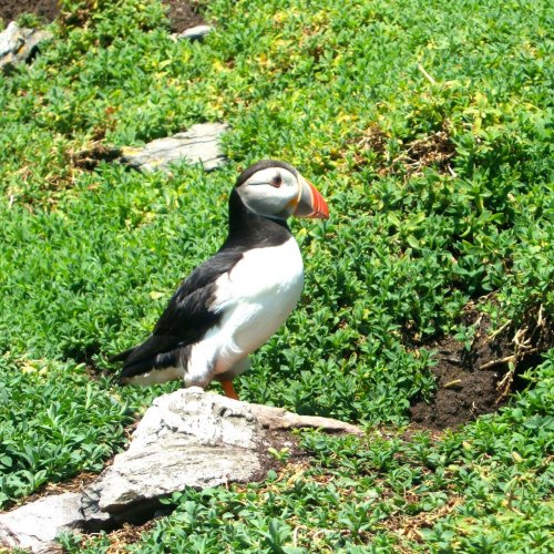 Puffin, Skellig Michael