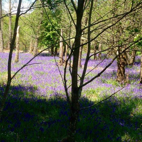 Bluebell woods, Aberfoyle